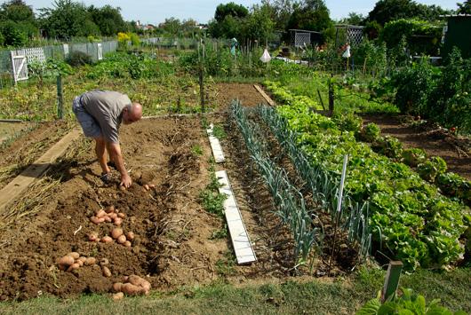 La Pomme De Terre Un L Gume Incontournable Au Potager