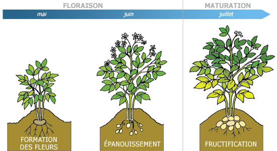 Le cycle de vie de la pomme de terre le plant fran ais de pomme de terre - Acheter plant de patate douce ...