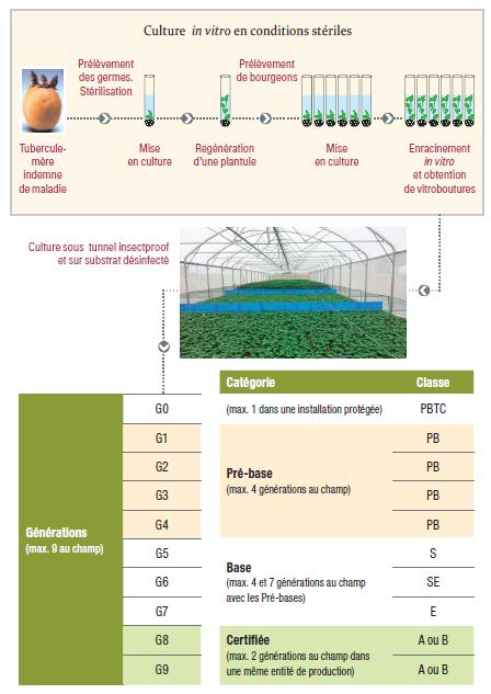 Schéma de culture in vitro de pomme de terre