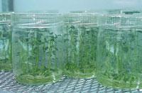Cultures de pomme de terre in vitro