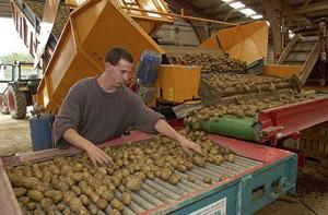 Tri visuel des pommes de terre