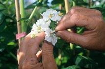 Castration d'une fleur de pomme de terre avant hybridation