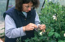 Hybridation de la pomme de terre