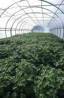 Tunnel insect-proof pour la production de plants de pomme de terre