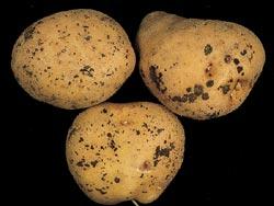 Rhizoctone brun le plant fran ais de pomme de terre - Maladie de la pomme de terre ...