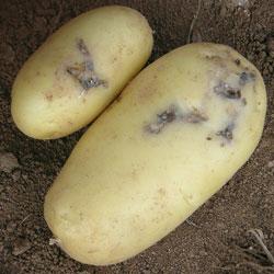Teigne le plant fran ais de pomme de terre - Maladie de la pomme de terre ...