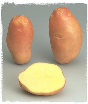 Vari t stemster le plant fran ais de pomme de terre - Tableau pomme de terre varietes ...