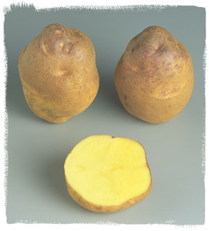 Vari t amyla le plant fran ais de pomme de terre - Tableau pomme de terre varietes ...