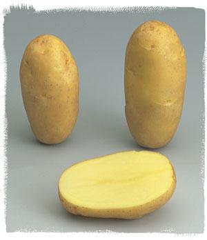 Vari t samba le plant fran ais de pomme de terre - Variete de pomme de terre ancienne ...